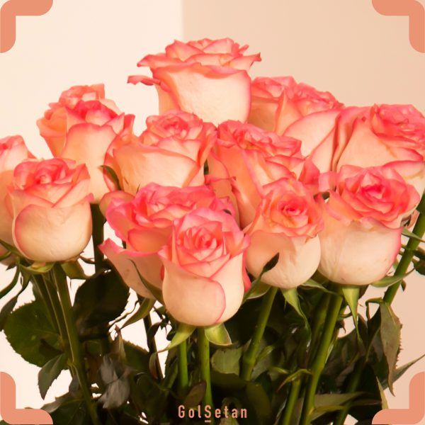 گل رز لب صورتی