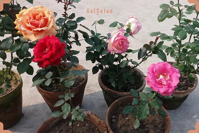 کاشت گل رز