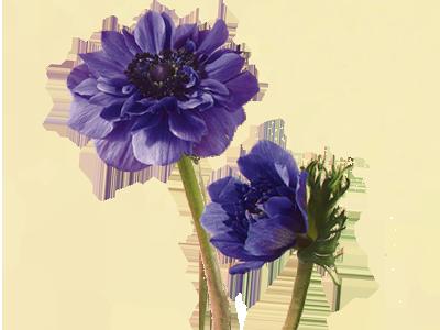 گل آنمون
