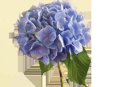 گل آدریسی
