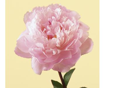 گل پیونی