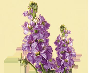 گل شببو