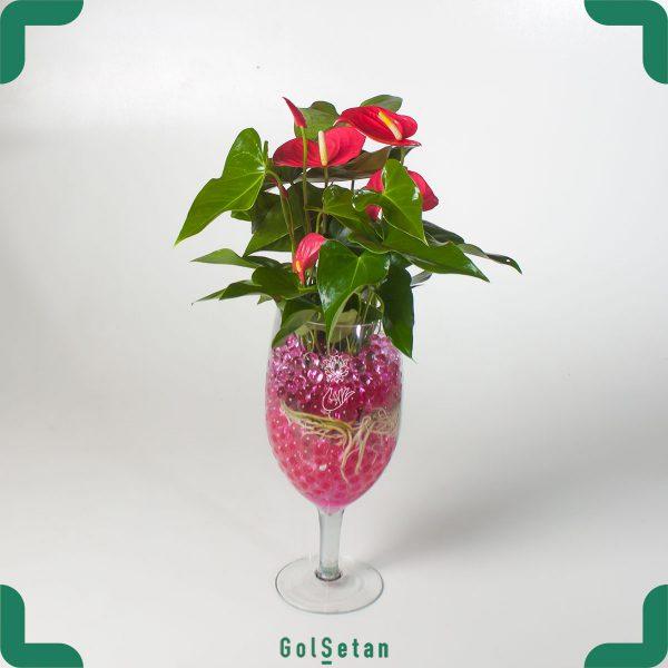 گل آنتوریوم گلدانی