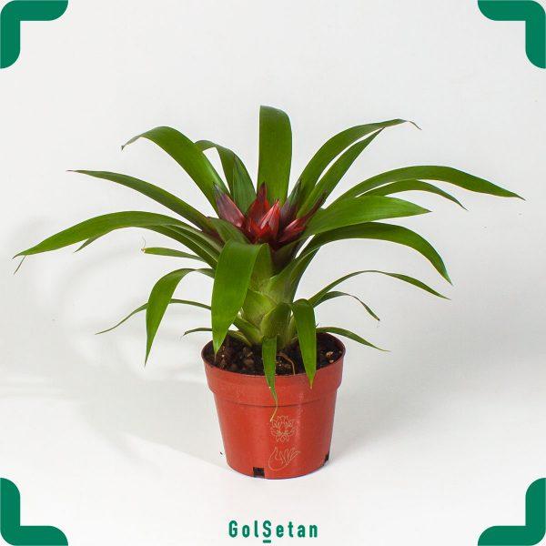 گازمانیا گلدانی