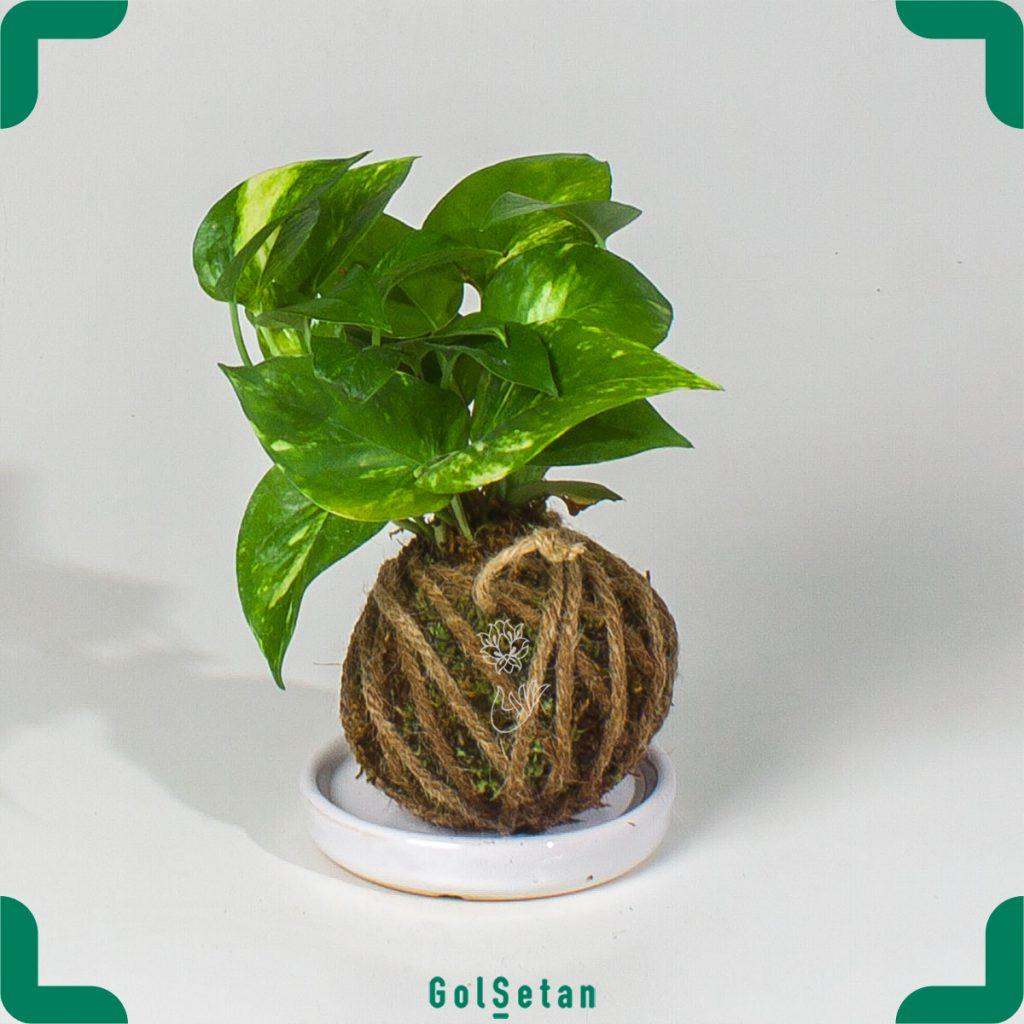 کوکداما پتوس سبز
