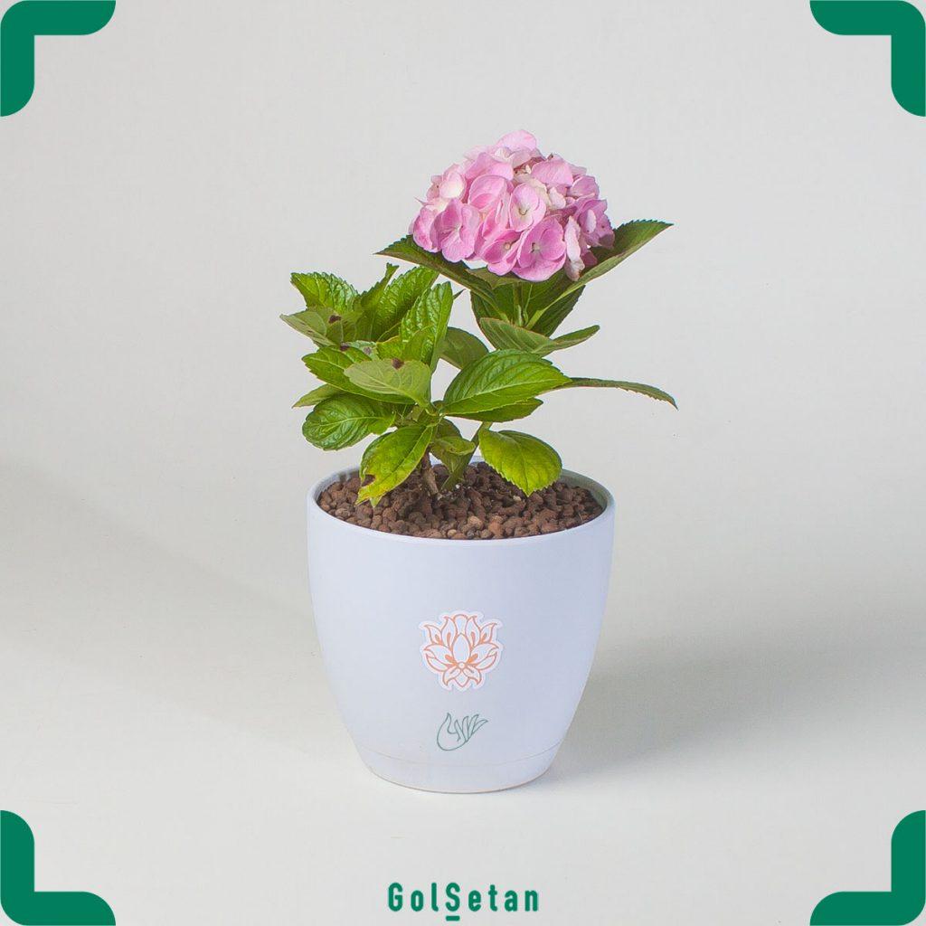گلدان گل هورتانسیا صورتی