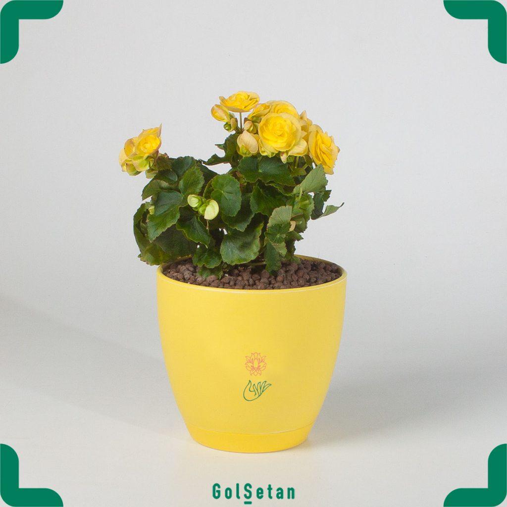 گیاه بگونیا زرد