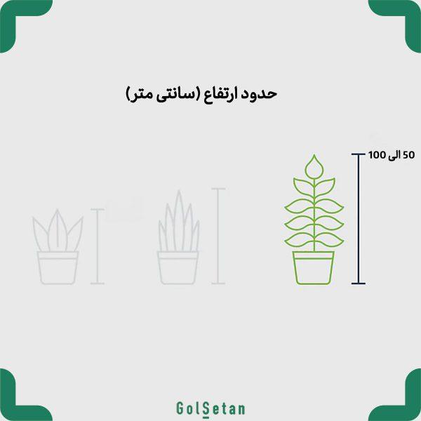 گیاه گلدانی بزرگ