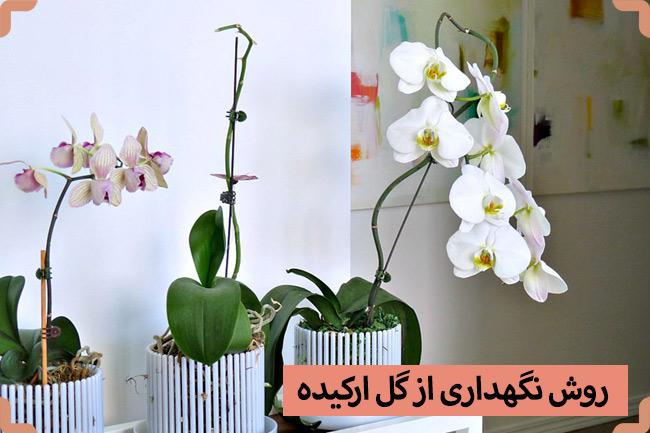 روش نگهداری و مراقبت از گل ارکیده گلدانی (گیاه ارکیده)