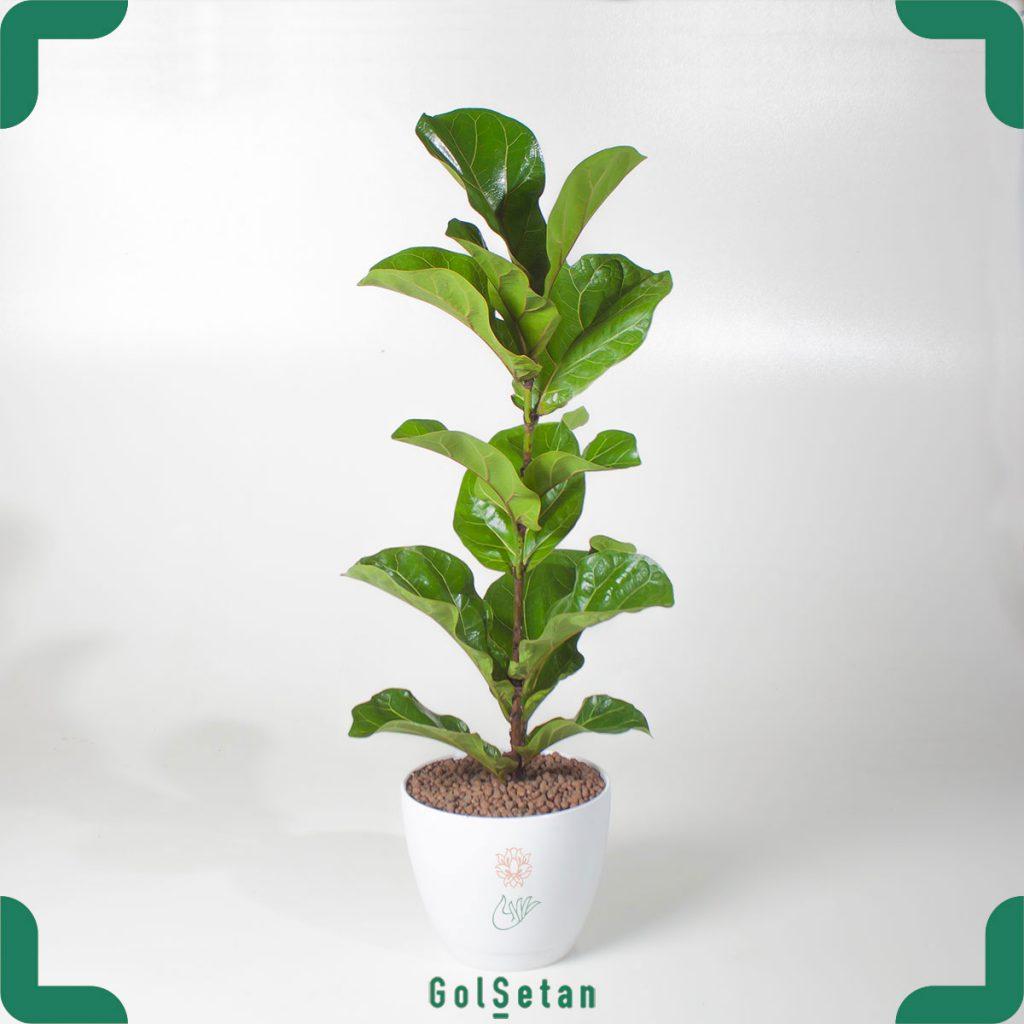 گیاه فیکوس آفریقایی