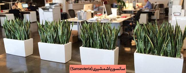 گلدان سانسوریا در محل کار