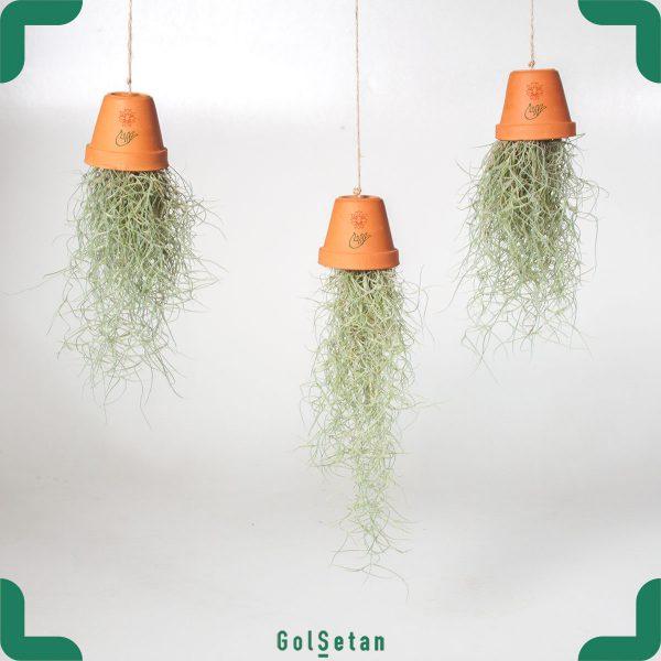 گیاه هوازی تیلاندسیا