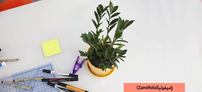 زاموفولیا برای محل کار