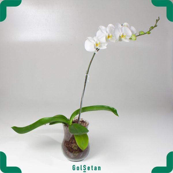 گل ارکیده گلدانی