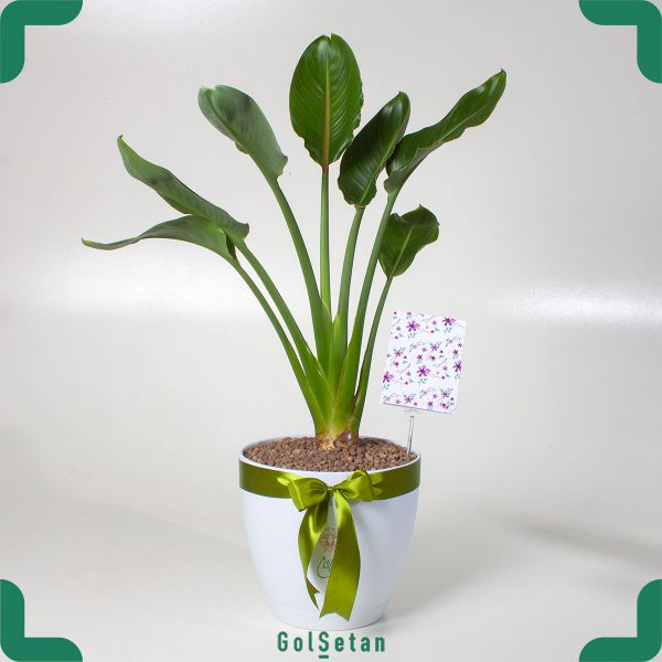 گیاه گلدانی استرلیتزیا