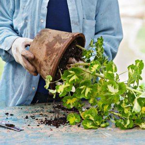 خارج کردن گیاه از گلدان