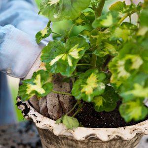خاک ریختن دور گیاه