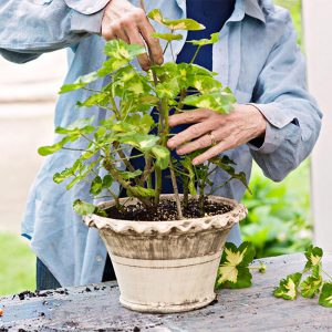 روش تعویض گلدان و جلوگیری از کج شدن گیاه