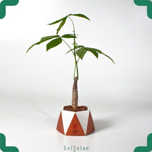 گیاه آپارتمانی پاچیرال یا درخت پول