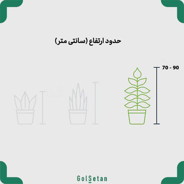 ابعاد گیاه سانسوریا شمشیری