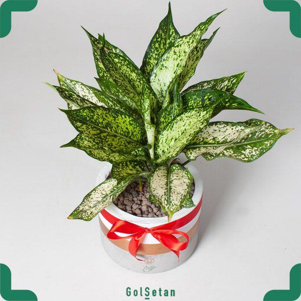 گیاه آپارتمانی آگلونمای با گلدان بتنی