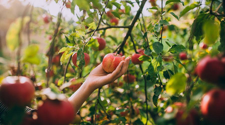 چیدن میوه از درختان در فصل پاییز