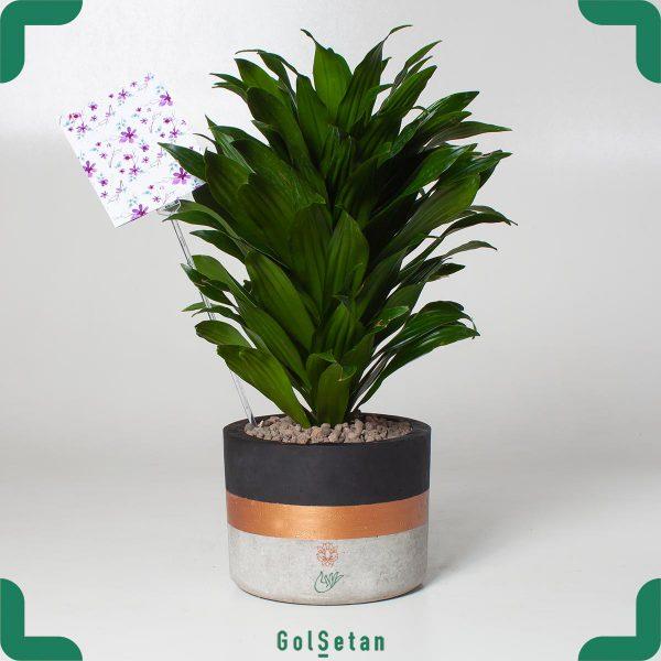 گیاه آپارتمانی دراسنا کامپکت با گلدان