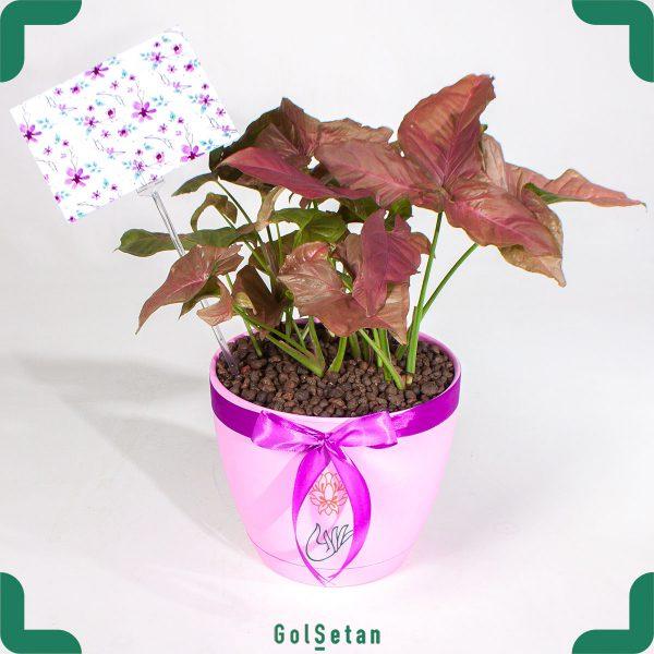 گیاه آپارتمانی سینگونویم صورتی با گلدان