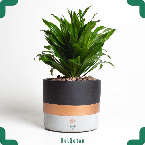گیاه آپارتمانی دراسنا کامپکت