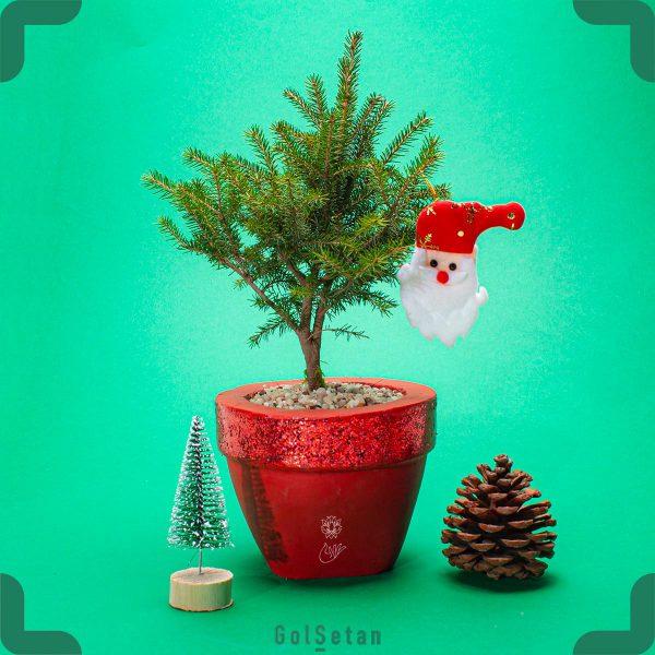 گیاه کریسمس به نام کاج نوئل