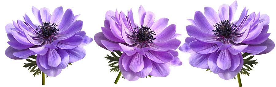 انواع گل آنمون شاخه بریده
