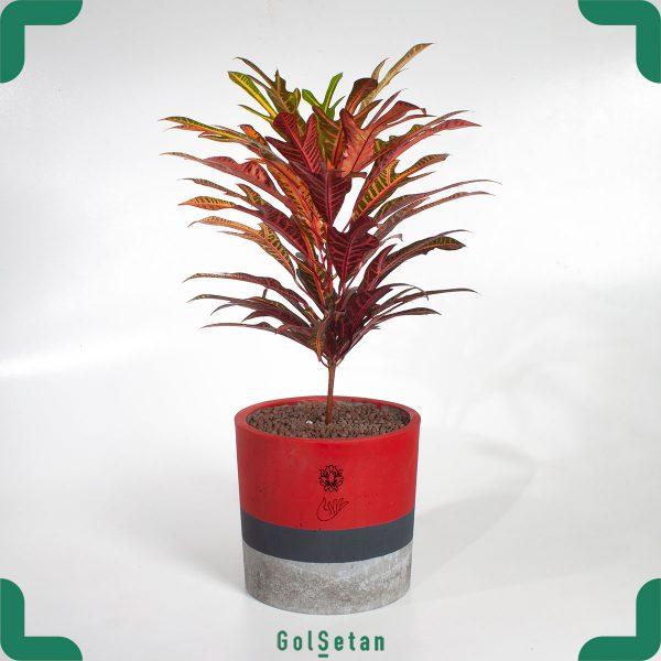 کروتون پترا با رنگ های پاییزی با روش نگهداری کروتون