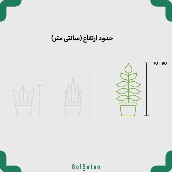 سایز گیاه کروتون پترا (چناری)