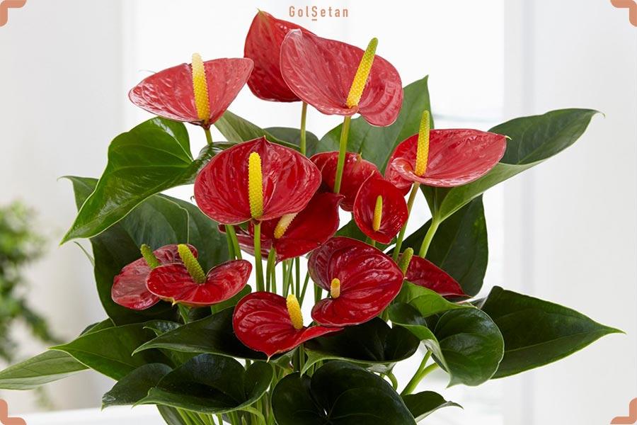 گل آنتریوم قرمز