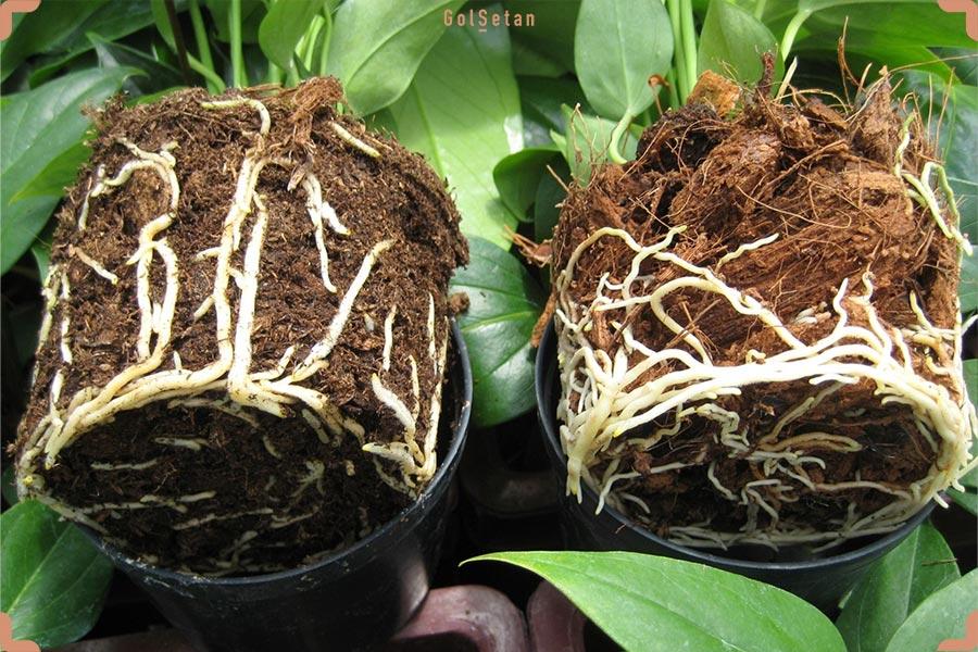 ریشه های آنتریوم