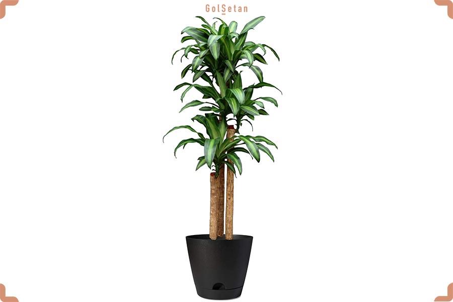 گیاه دراسنا بلالی