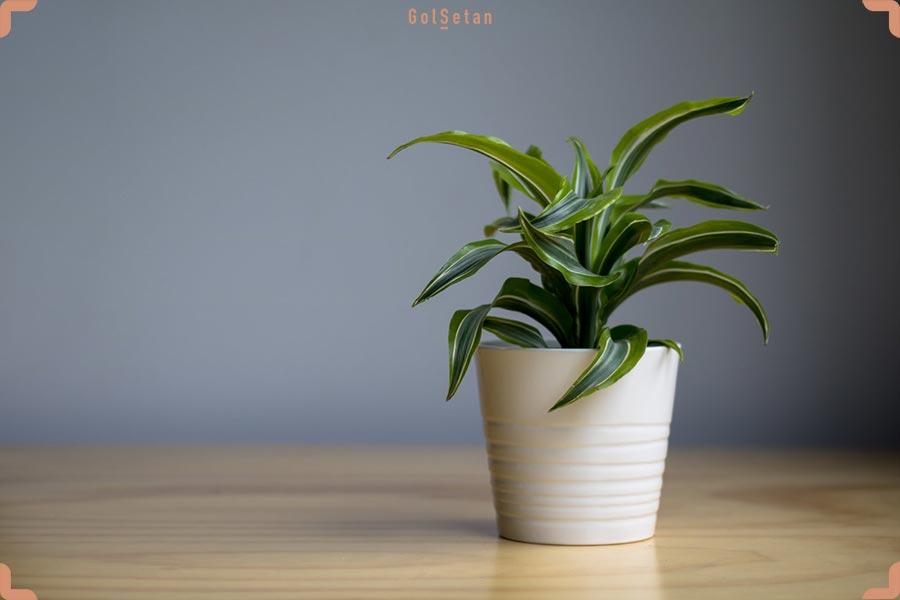 گیاه دراسنا برگ لیمویی