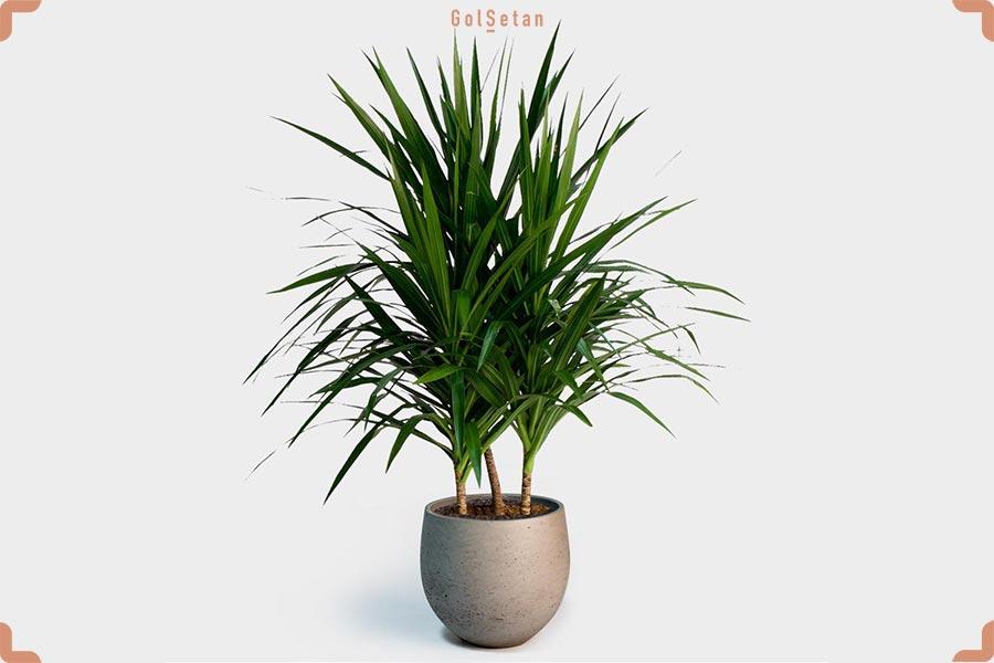 گیاه دراسنا تارزان