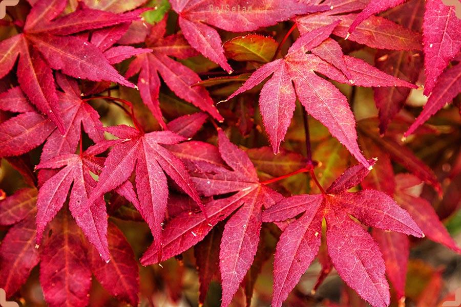 معرفی درخت افرا ژاپنی و روش نگهداری از آن | گُلسِتان
