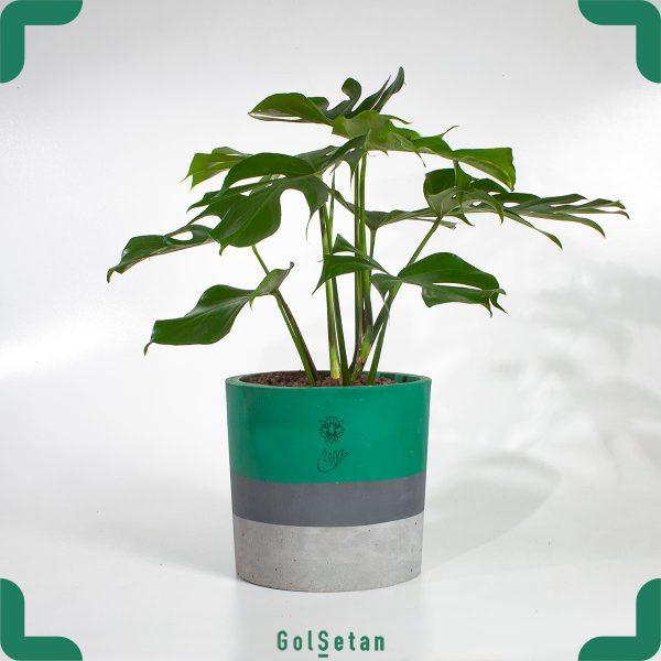 گیاه برگ انجیری یا مونسترا
