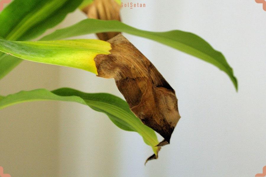 علت قهوه ای شدن برگ ها در طول نگهداری از گیاه دراسنا چیست