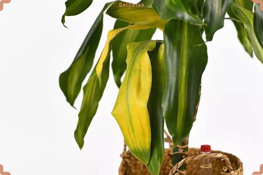 علت زرد شدن برگ های گیاه دراسنا