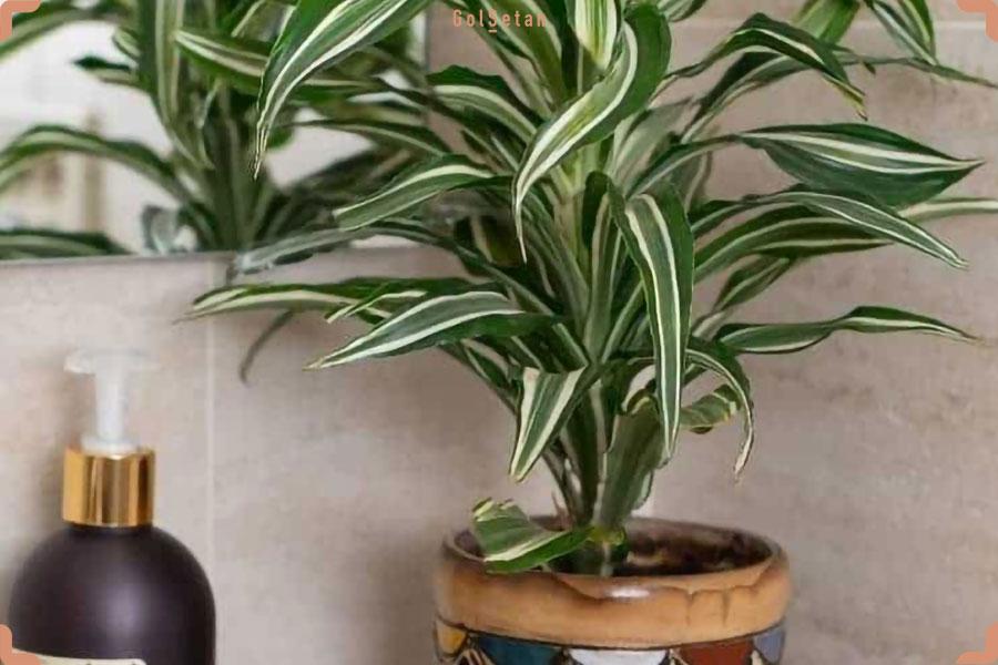 دما و رطوبت مورد نیاز برای نگهداری از گیاه دراسنا