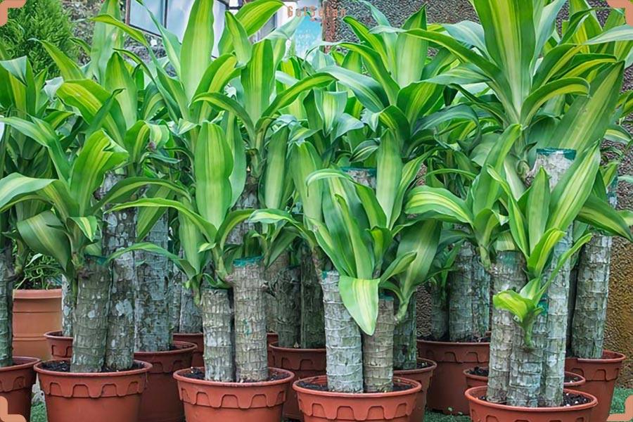 کوددهی در طول نگهداری از گیاه دراسنا