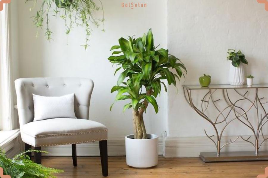 روش صحیح آبیاری در نگهداری از گیاه دراسنا