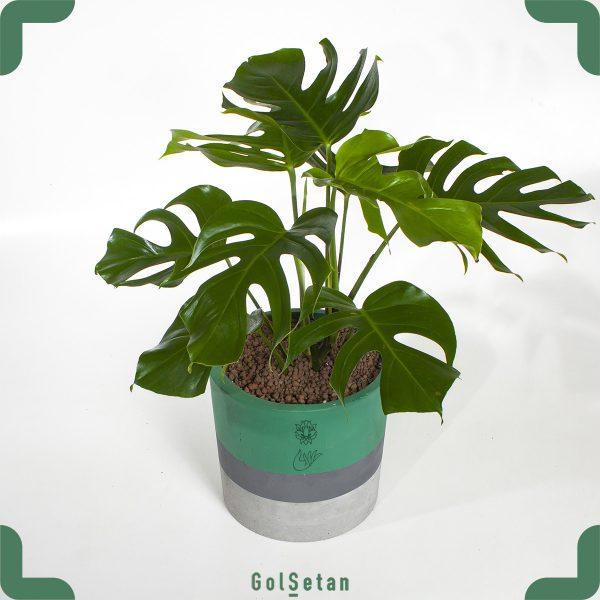 گیاه برگ انجیری یا مونسترا از نمای نزدیک