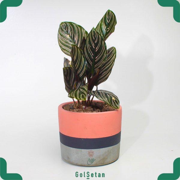 گیاه آپارتمانی کاتالیا با گلدان بتنی