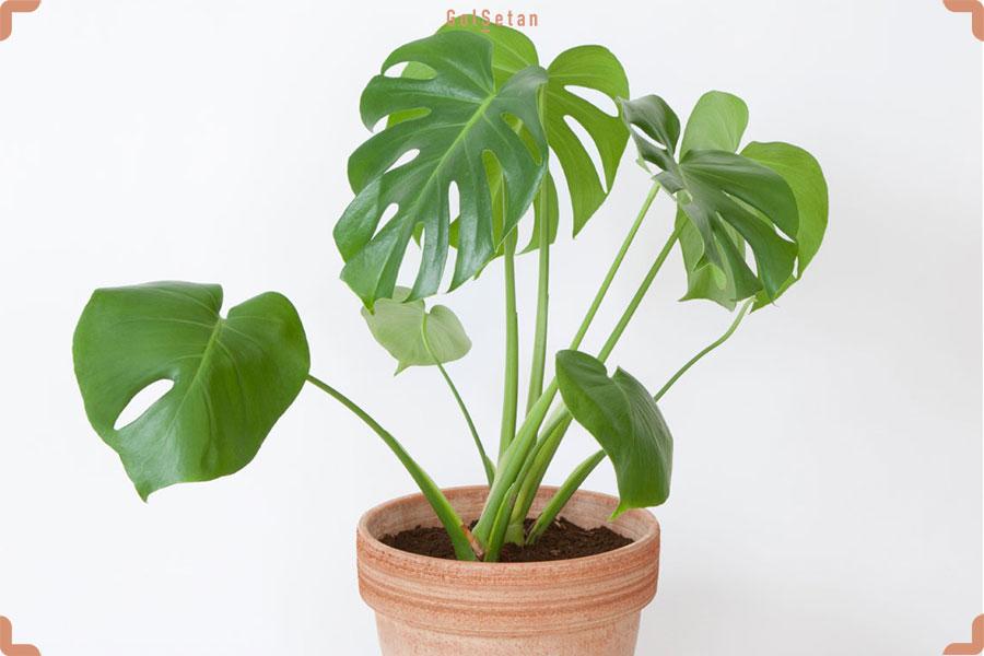 روش مراقبت از گیاه برگ انجیری