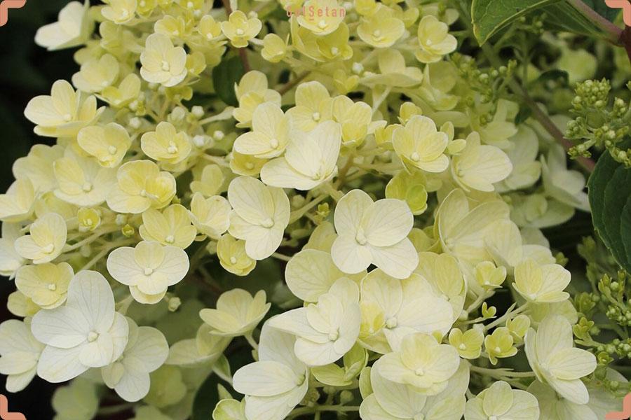 معرفی گیاه ادریسی پانیکولاتا و شرایط نگهداری آن |گُلسِتان