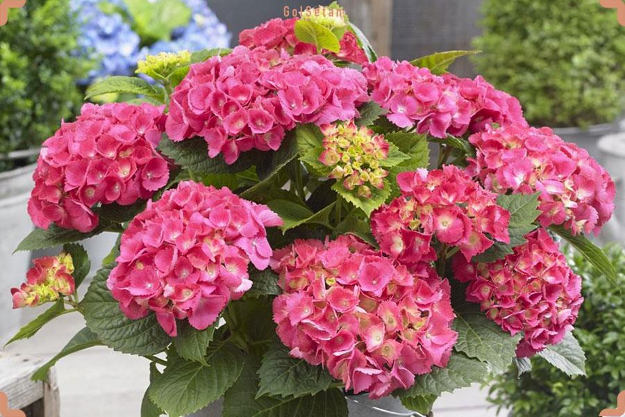 روش نگهداری گیاه ادریسی یا هورتانسیا ماکروفیلا |گُلسِتان